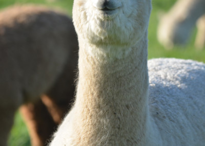 Alpakas in NRW